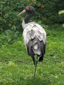 Black-necked crane Bhutan