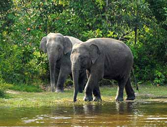 Wild elephants in the Cardamom Mountains (Copyright Rainforest Trust)