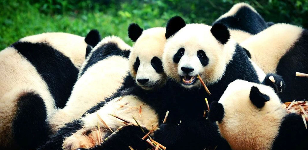 Giant Pandas at play in Chendu sanctuary