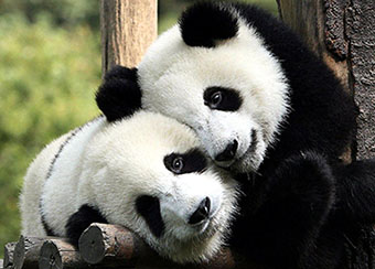 Giant pandas at Chengdu, China