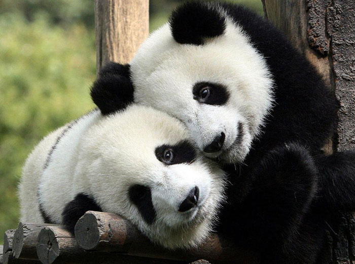 Giant Pandas cuddling, Chengdu, China