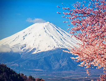 Mount Fuji and cherry blossom tree