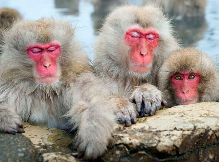 Japanese snow monkeys soaking in hot spring