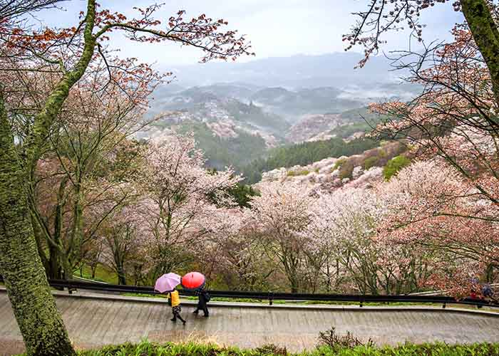Cherry blossom trees in the mountains near Nara, Japan