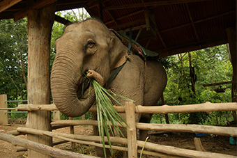Elephant feeding at elephant sanctuary in Luang Prabang, Laos