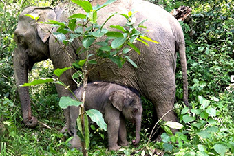 Mother and child elephants at Xieng Lom Elephant Village