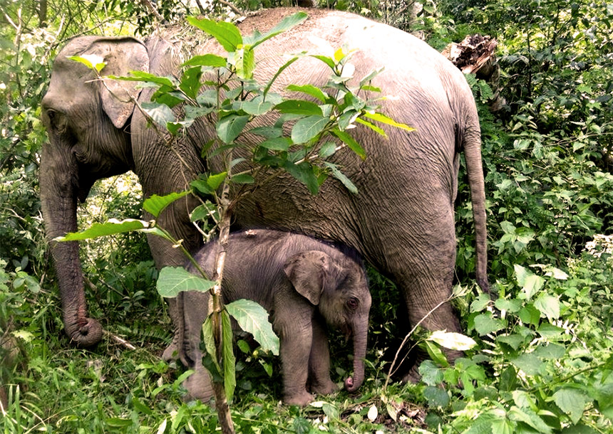 Laos Elephant Village with mother and baby Asian elephant