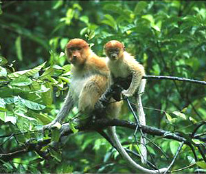 Menanggol River monkeys