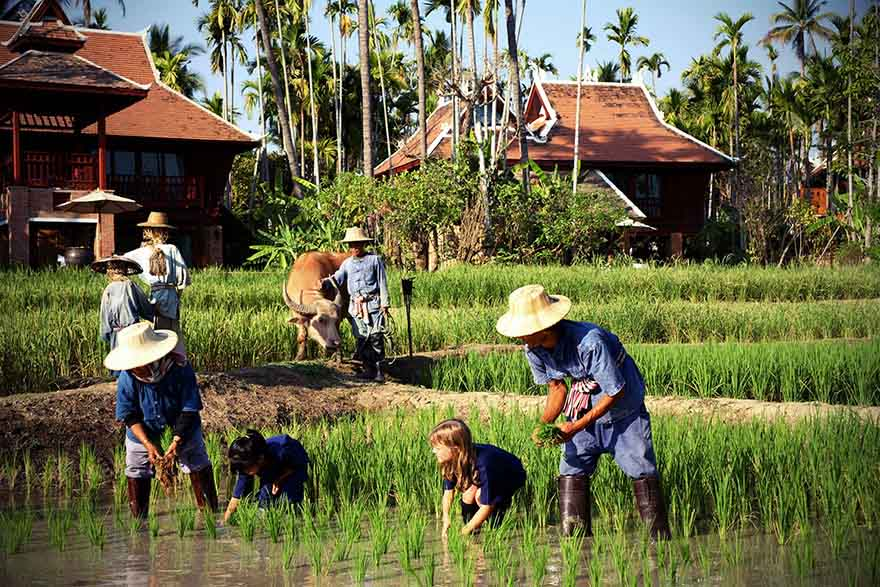 Children on Thailand family tour planting rice in Chiang Mai