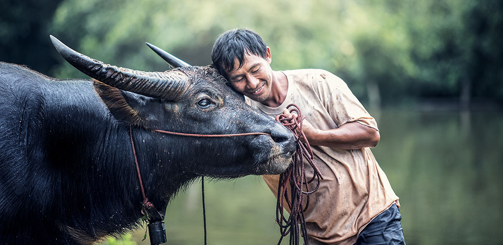 Thai farmer with water buffalo