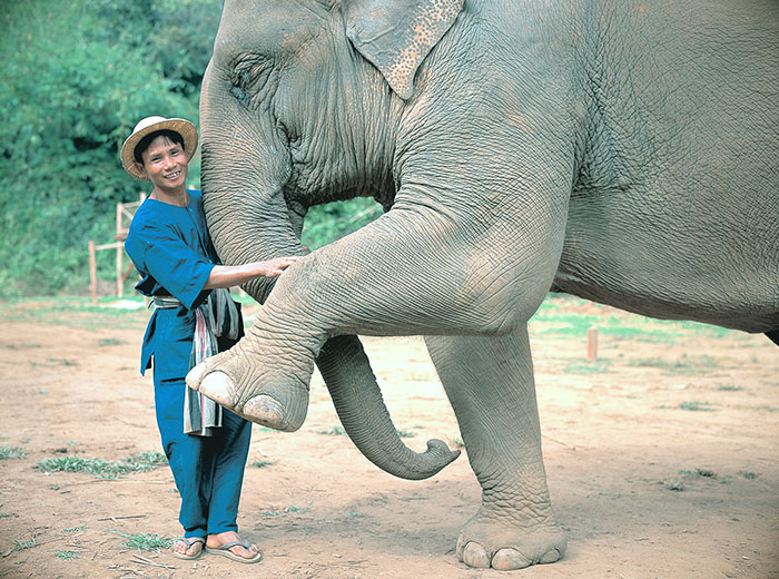 Elephant and handler (mahout) at elephant sanctuary in Chiang Mai, Thailand.