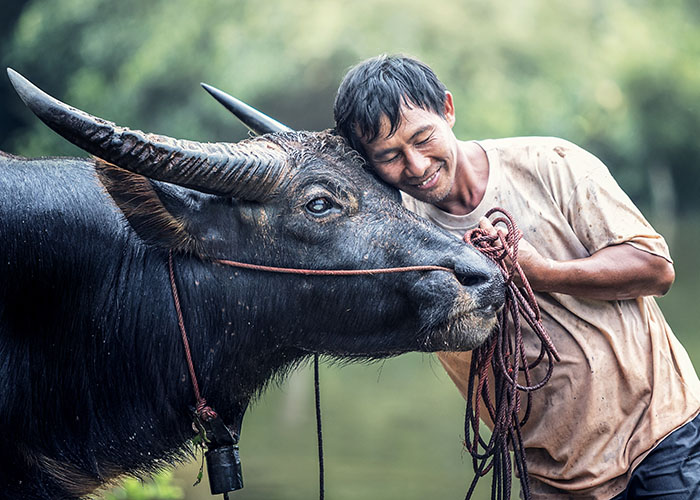Farmer with water buffalo in Thailand