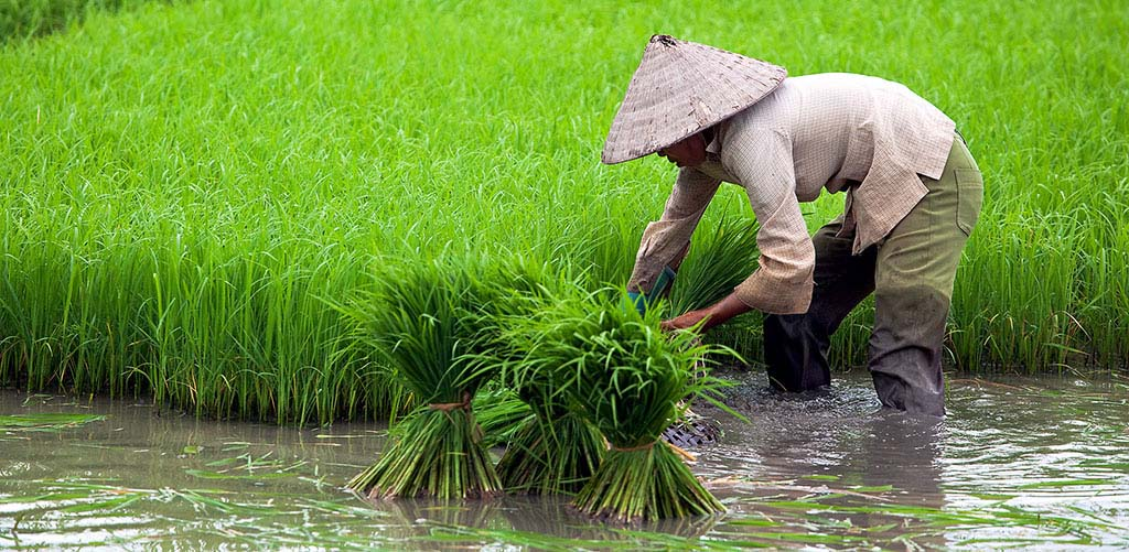 Rice paddy famer in Vietnam