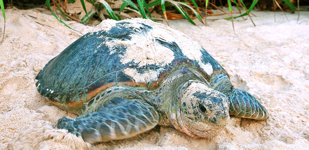 Adult turtle on Can Dao Island, Vietnam