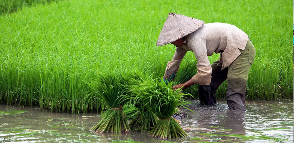 Rice farmer Vietnam