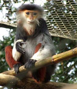Red-shanked Duoc Langur