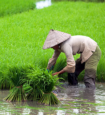 Farmer in rice paddy, Vietnam